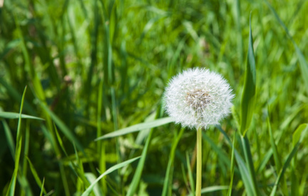White dandelion against a green grass (spring)
